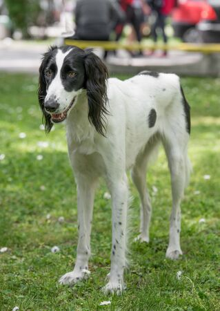 Taigan is a member of the family of Eastern Sighthounds. The Taigan is a very rare dog breed, reported about 300 worldwide. Stock Photo