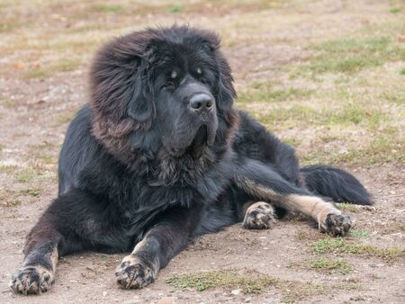 Close-up view of Tibetan Mastiff Dog outside in the park. Selective focus Stock Photo