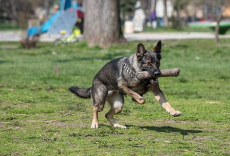 German Shepherd Running Through the Grass