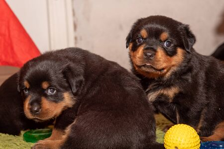 Adorable Purebred Rottweiler puppy posing indoors.One month old