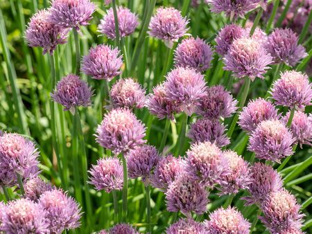 Grass Plant chives (Allium schoenoprasum) . Shallow depth of field Stock Photo