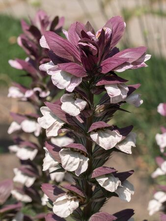 Bear's breeches (Acanthus hungaricus) plant in summer garden Stock Photo