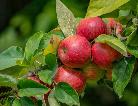 A group of sweet, fresh and organic apples grow on apple-tree branch with leaves under sunlight.  Fruits background