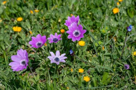 Purple Violet Anemone Pavonina .Beautiful spring flower