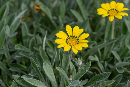 Yellow Flowering Gazania Delosperma with buds (also known as treasure flower)