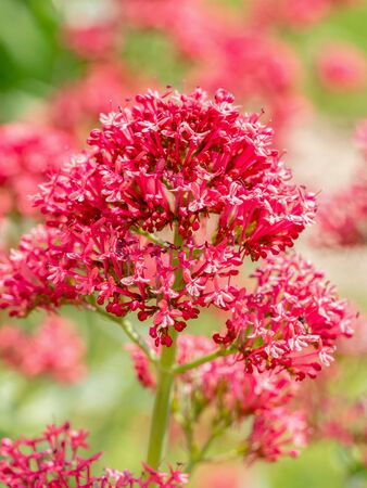 Centranthus ruber Pretty Betsy with soft clusters of small, trumpet-shaped pink flowers or red valerian** Note: Shallow depth of field Stock Photo