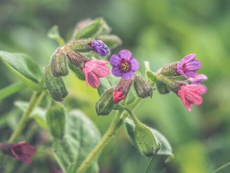 Pulmonaria lungwort flowers of different shades of violet in one inflorescence. The first spring flowers.