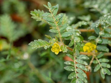 Tribulus terrestris is an annual plant in the caltrop family (Zygophyllaceae) widely distributed around the world, that is adapted to grow in dry climate locations in which few other plants can survive Stock Photo