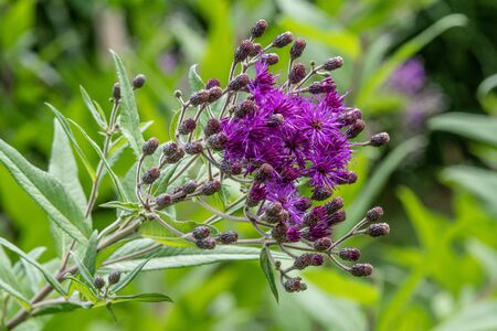 Tall Ironweed (Vernonia altissima) brilliant red-pink flowers, held like torches atop the tall flower stalks.