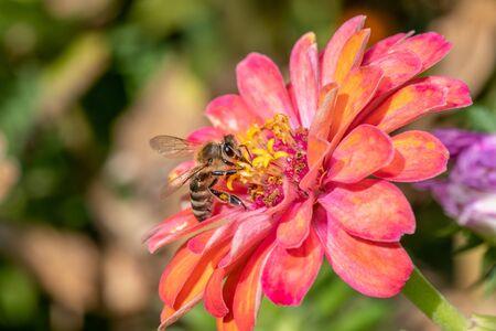 Macro photo of Bee collecting  pollen in nature. Shallow depth of field Banco de Imagens