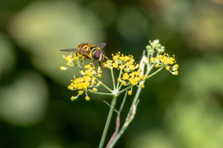 Macro photo of Bee collecting  pollen from fennel in nature. Shallow depth of field