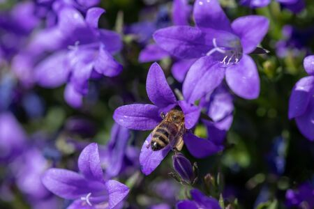 Macro photo of Bee collecting  pollen from flower in nature. Shallow depth of field