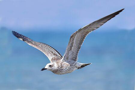 Detailed portrait of natural flying Armenian gull (Larus armenicus)