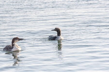 Black-throated diver (Gavia arctica) and Common Loon (Gavia Immer) swimming together in the sea