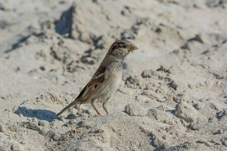 Beautiful little sparrow bird in natural background .Generally, sparrows are small, plump, brown-grey birds with short tails and stubby, powerful beaks.