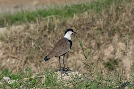A Spur-Winged Lapwing (Vanellus Spinosus) standing cautiously