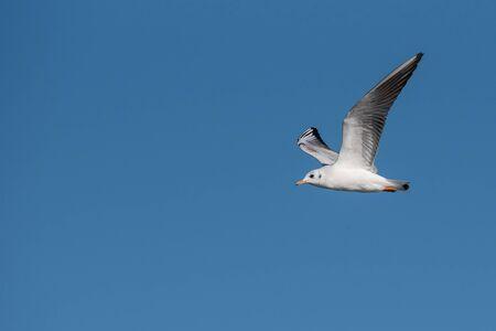 Black-headed gull (Chroicocephalus ridibundus) in flight. Flying towards camera. Nature and wild bird image.