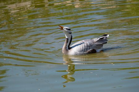 The bar-headed goose is named for the two conspicuous dark bars running around the back of its white head.