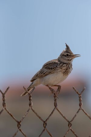 Singing Crested lark (Galerida cristata) perched on rural metal wire mesh fence