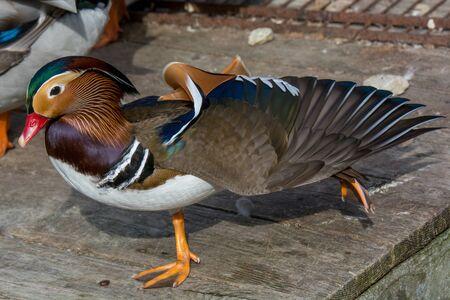 Close up male mandarin duck (Aix galericulata) on wooden board