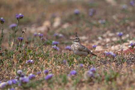 The Crested Lark is well distinguished from other larks by the larger size and quite large crest on the head. Adult males and females are similar on color
