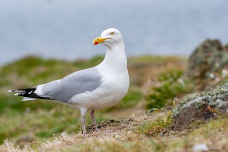 European Herring Gull is one of the best known of all gulls along the shores of western Europe. 版權商用圖片