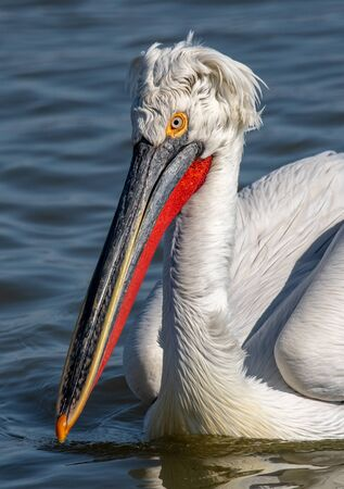 Dalmatian curly pelican (Pelecanus crispus) the world's largest fresh water bird. Rare bird species