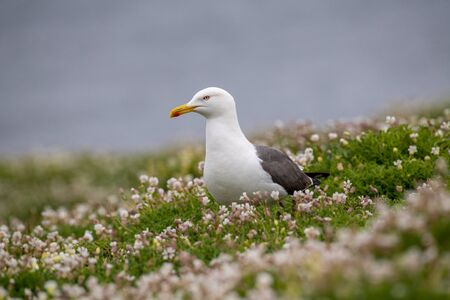 Slightly smaller than a herring gull, the lesser black-backed gull has a dark grey to black back and wings, yellow bill and yellow legs. Their world population is found entirely in Europe.  版權商用圖片