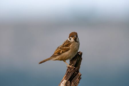 Eurasian tree sparrow (Passer montanus) is a passerine bird in the sparrow family with a rich chestnut crown and nape and black patch on each pure white cheek perched on a tree in a nature wild Stock Photo