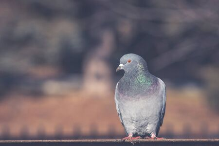 Close-up portrait of beautiful big grey and white grown pigeon with orange eye perching on the edge of brown metal  roof