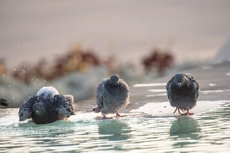 Pigeon. Dove. The large bird genus Columba comprises a group of medium to large stout-bodied pigeons, often referred to as the typical pigeons 写真素材