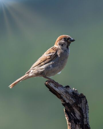 Eurasian tree sparrow (Passer montanus) is a passerine bird in the sparrow family with a rich chestnut crown and nape and black patch on each pure white cheek  Archivio Fotografico