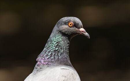 The large bird genus Columba comprises a group of medium to large stout-bodied pigeons, often referred to as the typical pigeons.