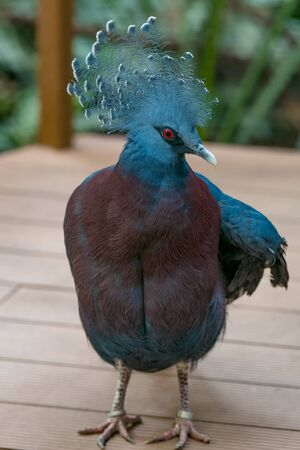 The Victoria crowned pigeon is a large, bluish-grey pigeon with elegant blue lace-like crests, maroon breast, and red irises. It is part of a genus of three unique, very large, ground-dwelling pigeons native to the New Guinea region.