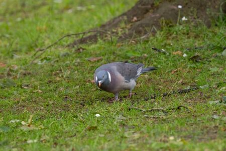 Common Wood Pigeon(Columba palumbus) Wild life animal