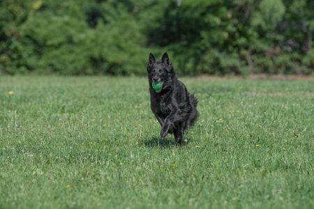 Belgian Shepherd Running Through the Grass. Selective focus on the dog