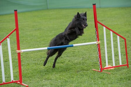 Purebred Belgian Shepherd dog jumping over obstacle on agility competition.