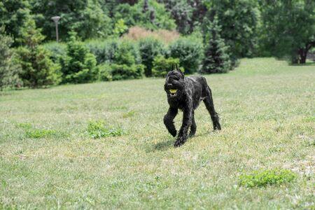 Riesenschnauzer dog running on the grass. Stock Photo
