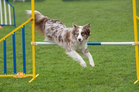 Border Collie dog jumping over obstacle on agility competition. Selective focus Stock fotó