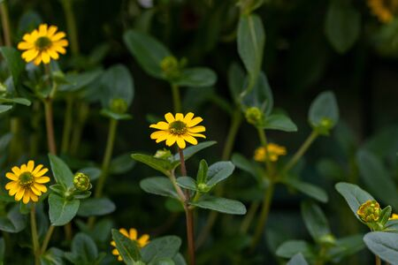 Close up of Mexican creeping zinnia, Sanvitalia procumbens