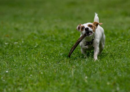 Jack Russel Terrier in the spring garden. Selective focus