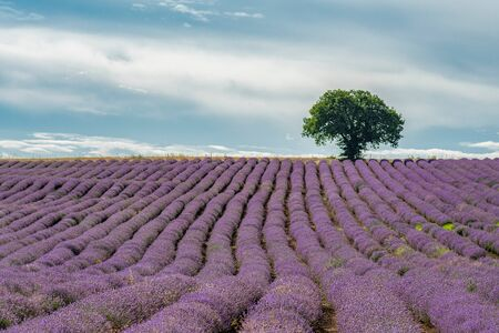 Lavender flower blooming scented fields in endless rows and mountain on background.