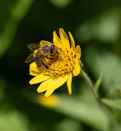 Yellow Arnica (Arnica Montana) herb blossom with nice bokeh.  Shallow depth of field Zdjęcie Seryjne - 143136384