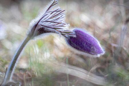 Wild Spring Pulsatilla patens, Easter pasqueflower, prairie crocus, and cutleaf anemone in spring forest