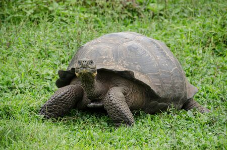 Animals, nature and wildlife photo close up of tortoises in the highlands of Galapagos, Ecuador, South America. Archivio Fotografico
