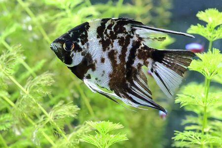 Scalaria (Pterophyllum) - a genus of fishes of family tsichlovyh