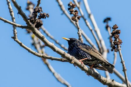 Common Starling (Sturnus vulgaris), also known as the European Starling