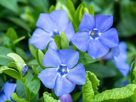 Blue lesser periwinkle Vinca minor flowers and leaves close up . It Is important in medicine