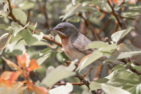 An adult subalpine warbler (Sylvia cantillans) sitting on a bush