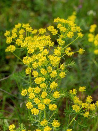 Close up of the yellow flowers of Cypress spurge Euphorbia cyparissias or leafy spurge Euphorbia esula. Zdjęcie Seryjne